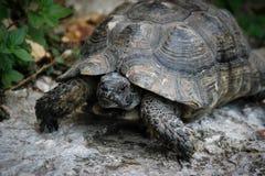 Портрет темной коричневой черепахи земли стоковое изображение