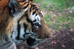 Портрет тигра Стоковые Фото
