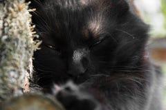 Портрет толстого длинного кота Chantilly Тиффани черноты волос ослабляя в саде на деревянных журналах Закройте вверх тучного tomc стоковое фото