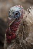 Портрет Турции Стоковые Фото