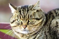 Портрет тучного striped кота с зелеными глазами Стоковое фото RF