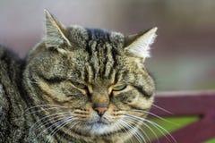 Портрет тучного striped кота с зелеными глазами Стоковое Фото