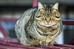 Портрет тучного striped кота с зелеными глазами Стоковые Изображения