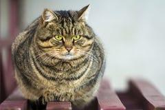 Портрет тучного striped кота с зелеными глазами Стоковые Изображения RF
