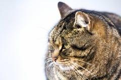 Портрет тучного striped кота с зелеными глазами Стоковое Изображение