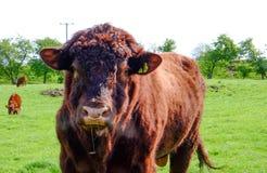 Портрет угрожающего смотря быка в поле Стоковое Изображение RF