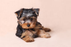 Портрет усаженного йоркширского терьера щенка Стоковые Фото