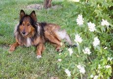 Портрет усаживания собаки Коллиы, в саде около banksia Стоковые Фото
