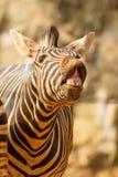 Портрет усмешки и смеяться над зебры Стоковые Изображения
