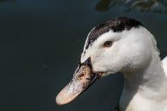 Портрет утки Анконы в своей естественной среде обитания Стоковые Фото
