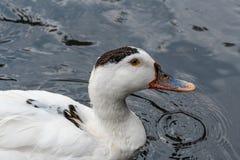 Портрет утки Анконы в своей естественной среде обитания Стоковая Фотография