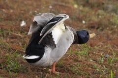 портрет утки Стоковое фото RF