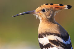 Портрет удода одичалых птиц Стоковые Изображения RF