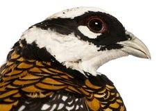 Портрет фазана мужского reeves, reevesii Syrmaticus, может вырасти до 210 см длиной стоковая фотография