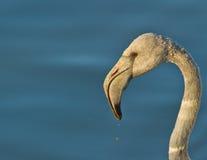 портрет фламингоа большой ювенильный Стоковое Изображение