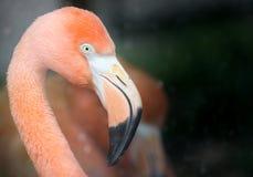 портрет фламингоа розовый Стоковые Изображения RF