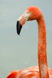 портрет фламингоа розовый Стоковое фото RF