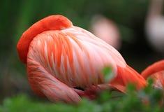 портрет фламингоа Стоковые Фотографии RF