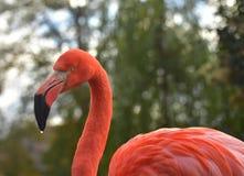 Портрет фламинго в зоопарке Стоковое Фото