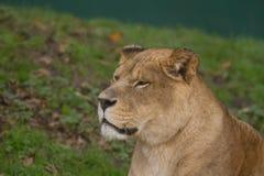 Портрет фото красивой львицы Barbary Стоковое Фото