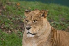 Портрет фото красивой львицы Barbary Стоковое Изображение RF