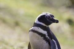 Портрет Фолклендские острова пингвина Magellanic Стоковое Фото