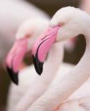 портрет фламингоа розовый Стоковые Изображения