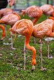 портрет фламингоа розовый Стоковые Фото