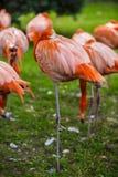 портрет фламингоа розовый Стоковая Фотография RF