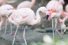 портрет фламингоа розовый Стоковая Фотография