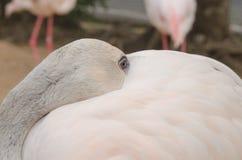 Портрет фламингоа Стоковое фото RF