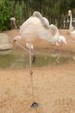Портрет фламингоа Стоковое Изображение