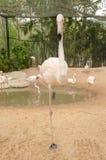 Портрет фламингоа Стоковые Изображения RF