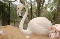Портрет фламингоа Стоковое Фото