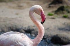 Портрет фламинго конца-вверх розовый Стоковая Фотография