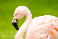 Портрет фламинго Стоковые Фотографии RF