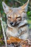 Портрет хитро лисы стоковые фото