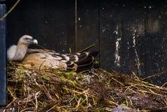Портрет хищника griffon сидя на своем гнезде, сезон размножения птицы во время весны стоковое фото