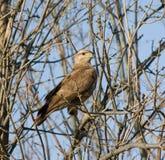 Портрет хищной птицы на ветви дерева Стоковые Изображения