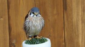 Портрет хищной птицы sparverius Falco сток-видео