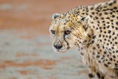 Портрет хмурого раненого гепарда стоковая фотография rf
