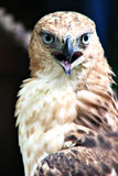 портрет хоука орла свирепый Стоковые Изображения RF