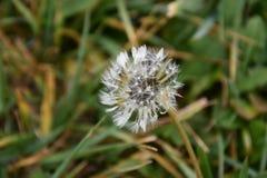 Портрет цветка одуванчика Стоковое Изображение