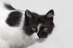 Портрет цветов шерсти кота черно-белых: черные голова и слепые пятна на теле, прокалывая зеленые глаза, белая предпосылка a Стоковое Изображение RF