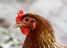 Портрет цыпленка - жизнь фермы Стоковое Изображение RF