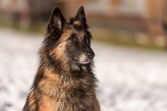 Портрет чабана Собака сидит в снеге стоковое изображение