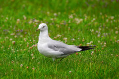 Портрет чайки в траве Стоковая Фотография RF