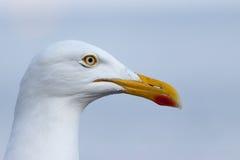 Портрет чайки Стоковые Фото