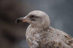 Портрет чайки стоковое фото