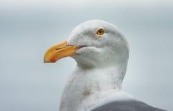 Портрет чайки стоковое фото rf